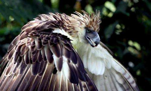 A Philippine eagle at the Philippine Eagle Center in Davao, on the southern island of Mindanao on April 9, 2011