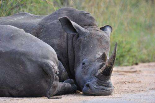 A rhinoceros rests in the Kruger National Park near Nelspruit, South Africa, on February 6, 2013