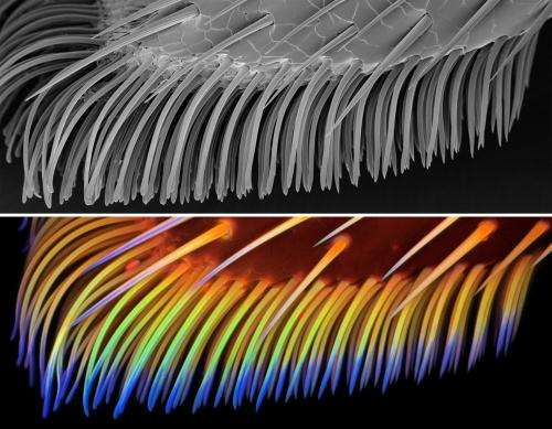Beetles in rubber boots: Scientists from Kiel University study ladybirds' feet