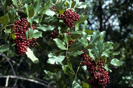 Biocontrol research on Brazilian peppertree in Florida discovers new cryptic species