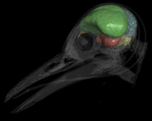 Bird brains predate birds themselves