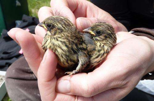 Cultural evolution changes bird song