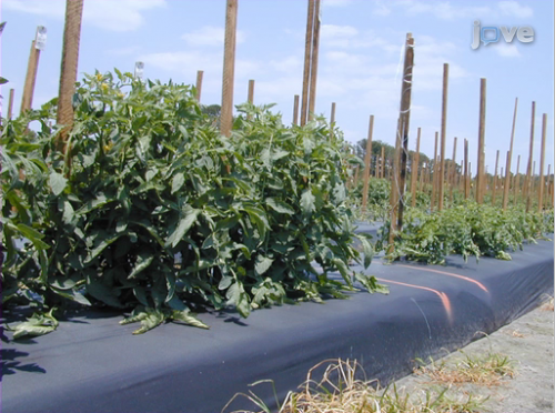 Defending food crops: Whitefly experimentation to prevent contamination of agriculture