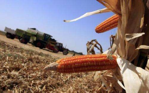 Genetically modified corn cobs are seen at a field, west of Cairo, on September 21, 2008