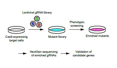 Genetic screening identifies genes driving resistance with a guide RNA library
