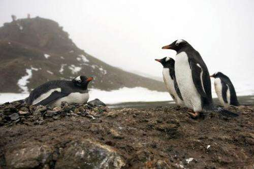 Gentoo penguins on the sure of King George Island, Antarctica, pictured October 28, 2009