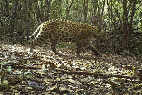 Guyana pledges to protect jaguars