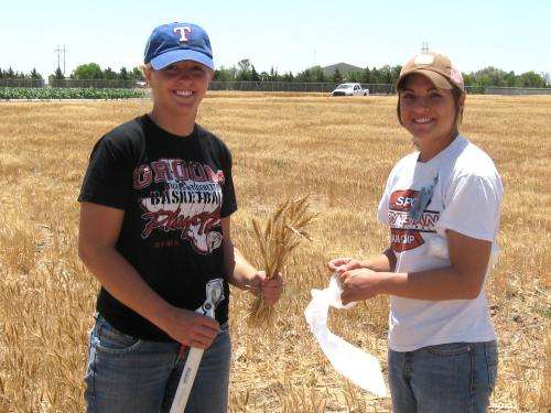 High yield, water efficiency of drought tolerant wheat due to higher biomass
