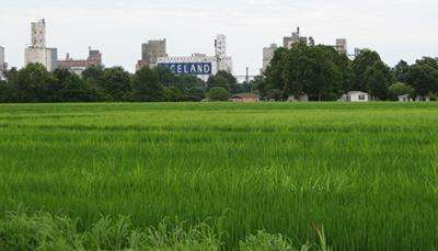 How rice twice became a crop and twice became a weed -- and what it means for the future
