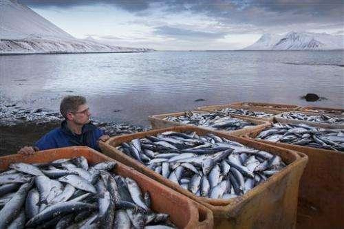 Iceland investigating mass herring deaths
