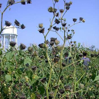 Invasive weeds could shed light on climate-coping