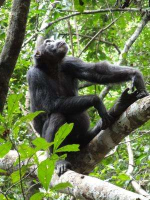 Long-term memory helps chimpanzees in their search for food
