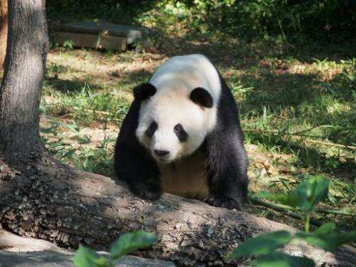 Male giant panda Tian Tian takes a stroll at the National Zoo in Washington on 5 September 2013