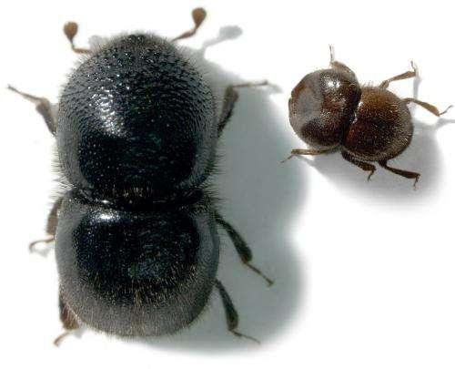 Meet the beetles -- the Xyleborini of New Guinea