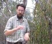 Mistletoe birds are 'cheats'