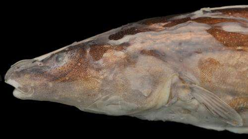 New genus of electric fish discovered in 'lost world' of South America