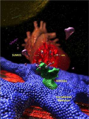 Novel gene therapy works to reverse heart failure