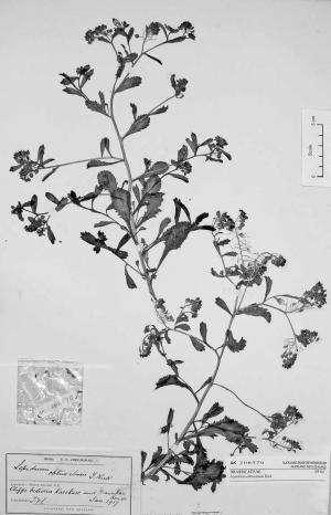 Perching on the cliffs of New Zealand, endemic Lepidium flora faces extinction threats