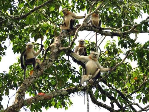 Rare reversal of decline in number of Tonkin snub-nosed monkeys