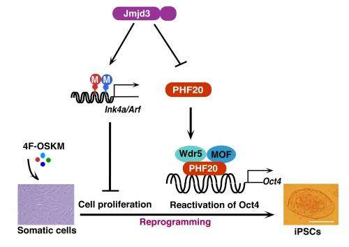 Reprogramming adult cells to stem cells works better with one gene turned off