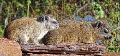 Researchers analyzing hyrax urine layers to study climate change