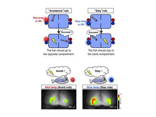 Researchers visualize memory formation for the first time in zebrafish