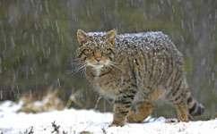 Scientists identify essential wildcat habitat