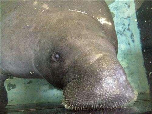 Snooty the manatee celebrates 65th birthday