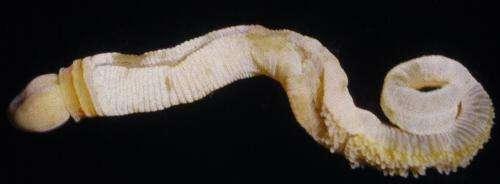 Strange phallus-shaped creature provides crucial missing link
