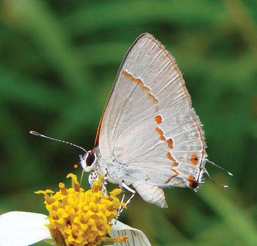 Striking green-eyed butterfly discovered in the United States