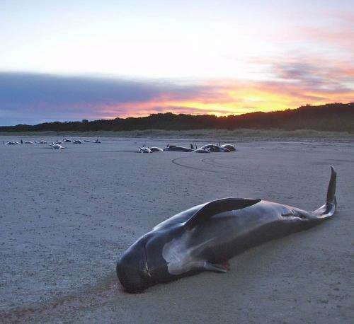Study questions the role of kinship in mass strandings of pilot whales