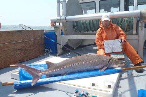 Sturgeon search: Scientists use satellites, underwater robot to study Atlantic sturgeon migrations
