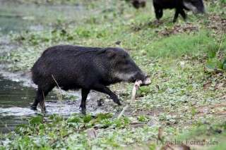 Sushi for peccaries?
