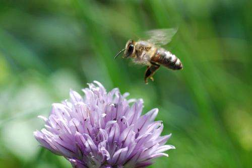 Team finds gene that helps honey bees find flowers (and get