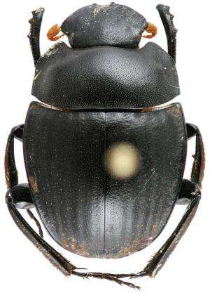 The mysterious scarab beetles: 2 new species of the endangered ancient genus Gyronotus
