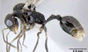 The peculiar life history of Middle American Stenamma ants