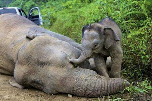 This photo taken on January 29, 2013 shows a baby elephant staying close to a dead pygmy elephant