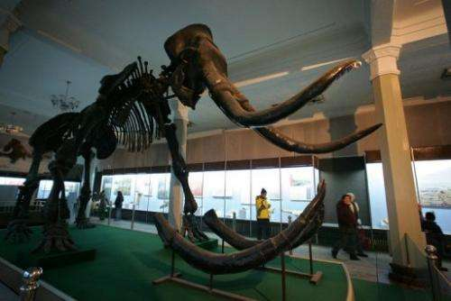 Visitors walk past a fossilized mammoth on exhibit at the Inner Mongolia Museum on February 9, 2006