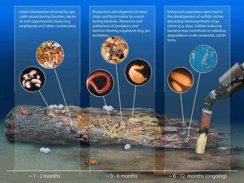 Wood on the seafloor: An oasis for deep-sea life