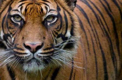 Researchers find human activities threaten Sumatran tiger population