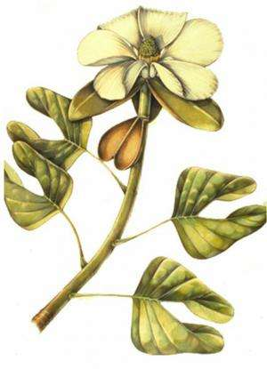 Researchers identify ancient ancestor of tulip tree line