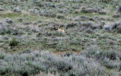 1 year later, lone gray wolf still prowling Calif.