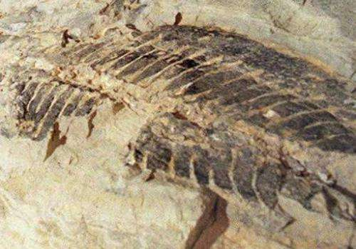 Illustration photo shows a 220-million-year-old amphibian fossil found in a quarry north of Sydney on February 14, 1997