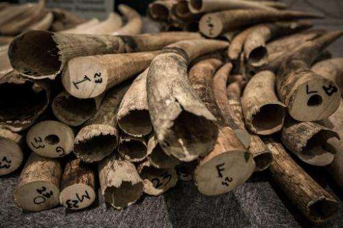 Ivory tusks are displayed by the Hong Kong Customs in Hong Kong on October 3, 2013