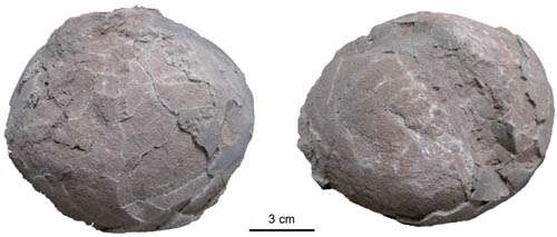 New forms of dinosaur eggs (Dictyoolithids) found