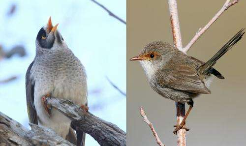Pitch perfect: How fairy-wrens identify other species' alarm calls