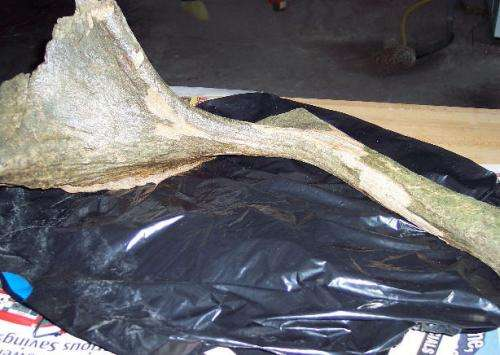 Professor identifies oldest and youngest stag-moose in North America