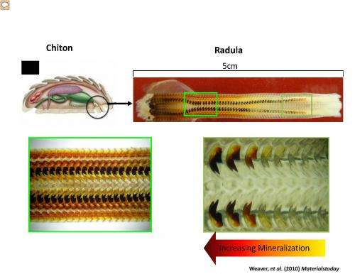 Researchers use snail teeth to improve solar cells and batteries