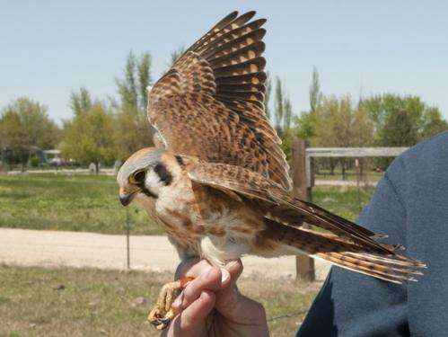 Research shows kestrels enjoy life far from the madding crowd