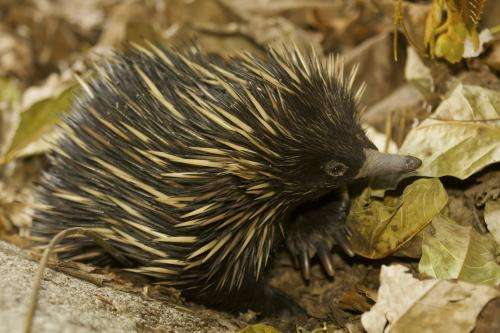 Scientists discover that for Australia the long-beaked echidna may not be a thing of the past